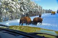 Bison butting heads outside a Yellowstone Vacations snowcoach