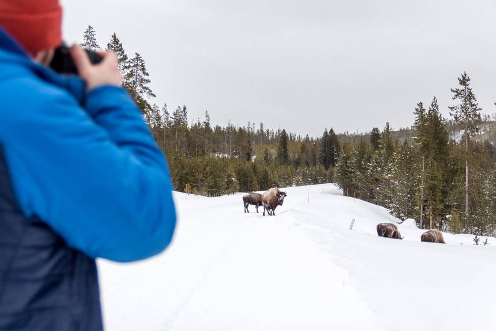 A Yellowstone photographer captures a herd of bison in winter.